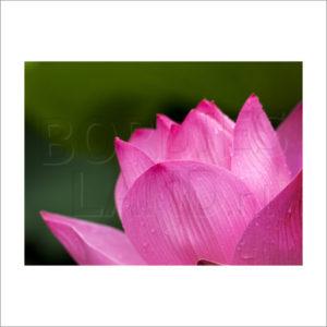 Tuinposter lotusbloem, en vervanging van de echte lotusbloem.