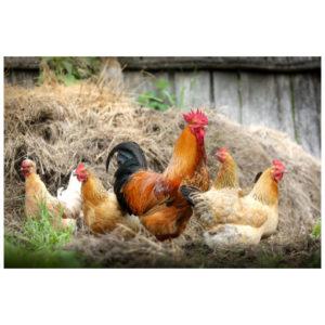 Een kippenfamilie