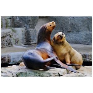 Een zeeleeuwenpaar