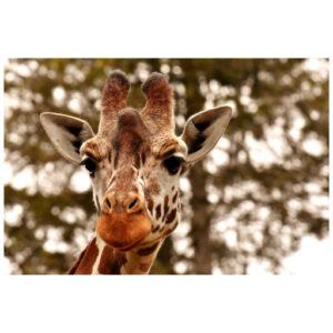 Giraffe alleen