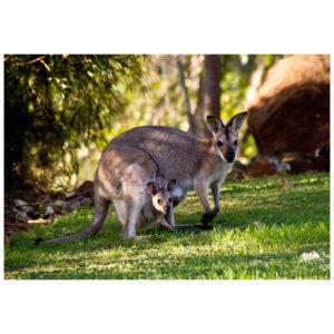 Kangoeroe Walibies