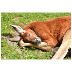 Kangoeroe slaapt