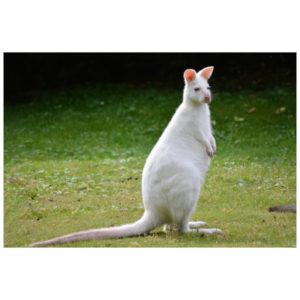 Kangoeroe wit
