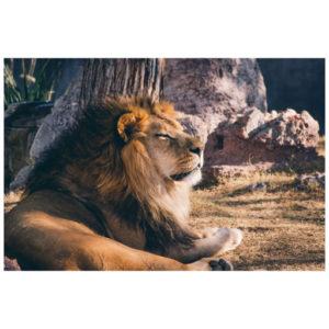 Leeuw de koning der dieren
