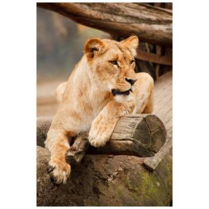 Leeuw ontspannen