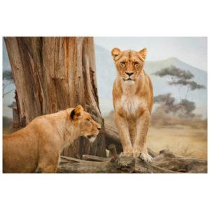 Leeuw vrouwtjes