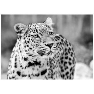 Luipaard uit Perzië